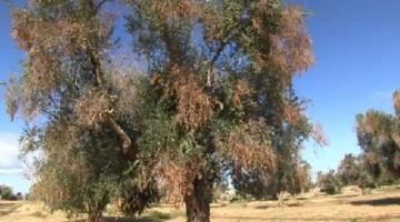 Olivo afectado por el patógeno de Xylella Fastidiosa