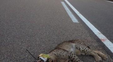 Lince atropellado en una carretera jiennense. FOTO: Archivo