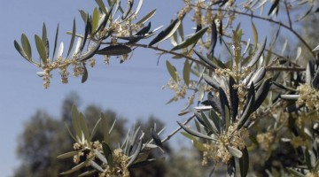 Polen de olivo