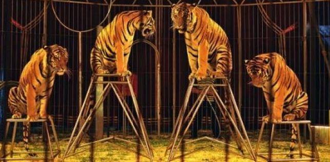 Ayuntamiento-Reinosa-Circos-Animales-PACMA_EDIIMA20150815_0303_23