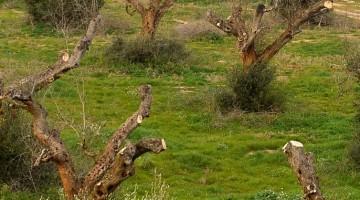Olivares talados en el sur de Italia por culpa de la Xylella fastidiosa.