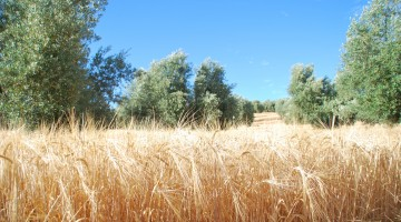 Foto_cultivo cebada en olivar Jaén 1